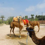 Camels in the Palmeraie