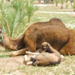 Palmeraie Baby Camel